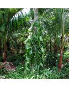 Vanille Réunion bio et bouture vanille