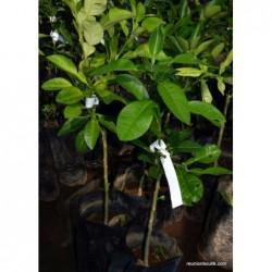 Plant Pamplemousse