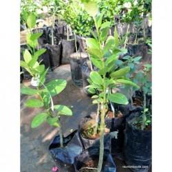 Plant Citron galet