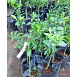 Plant Mandarine zanzibar