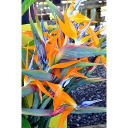 Colis fleurs 36 Oiseaux du...