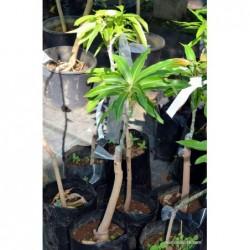 Plant mangue josée reunion