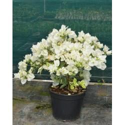 Plant Bougainvillée Blanc